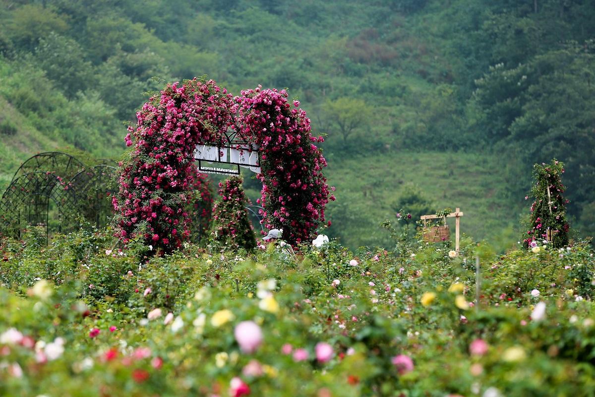 Thung lũng hoa hồng lớn nhất Việt Nam
